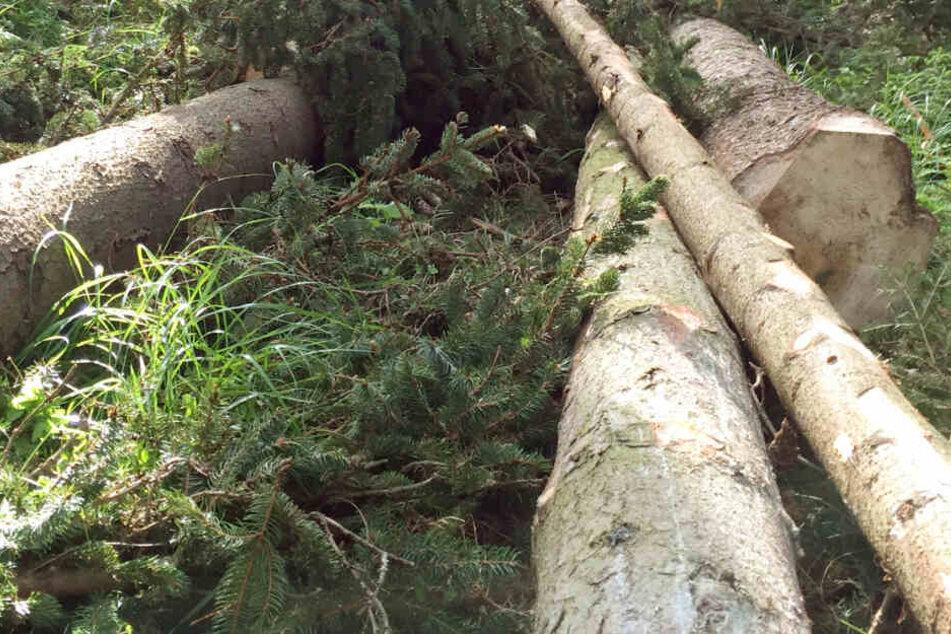 Ein Waldarbeiter wollte einen verkeilten Stamm bewegen, als er vom Baum erschlagen wurde. (Symbolbild)