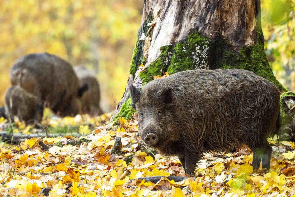Schmecken lassen! Wildschweine sind keine mäkeligen Esser. Ihre Population ist zuletzt stetig angewachsen.