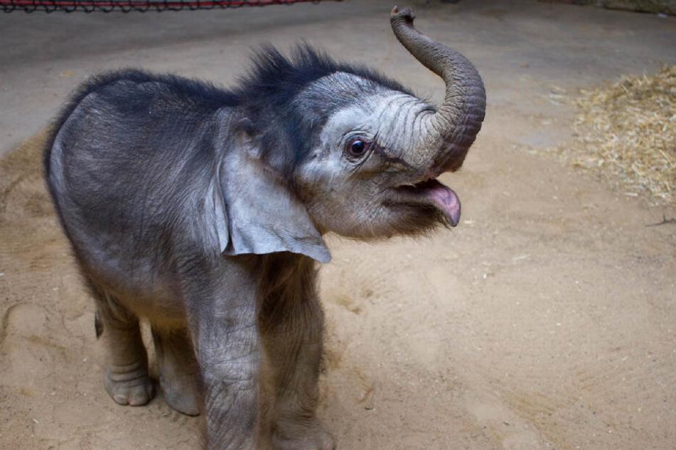 Der kleine Elefantenbulle weist besorgniserregende Blutwerte auf.