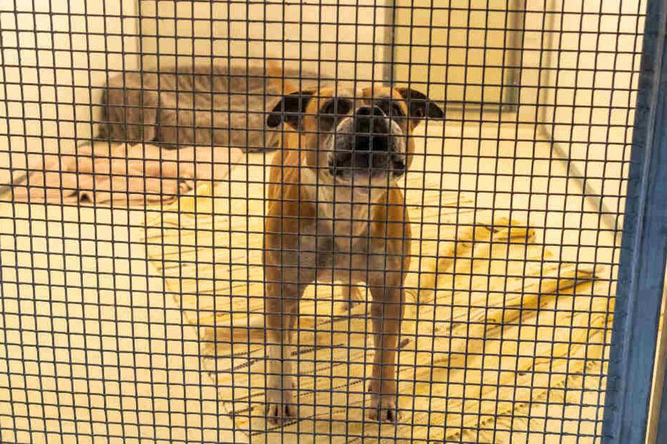Der Bulldoggen Mischlingsrüde Zero steht in seinem Zwinger im Tierheim München.