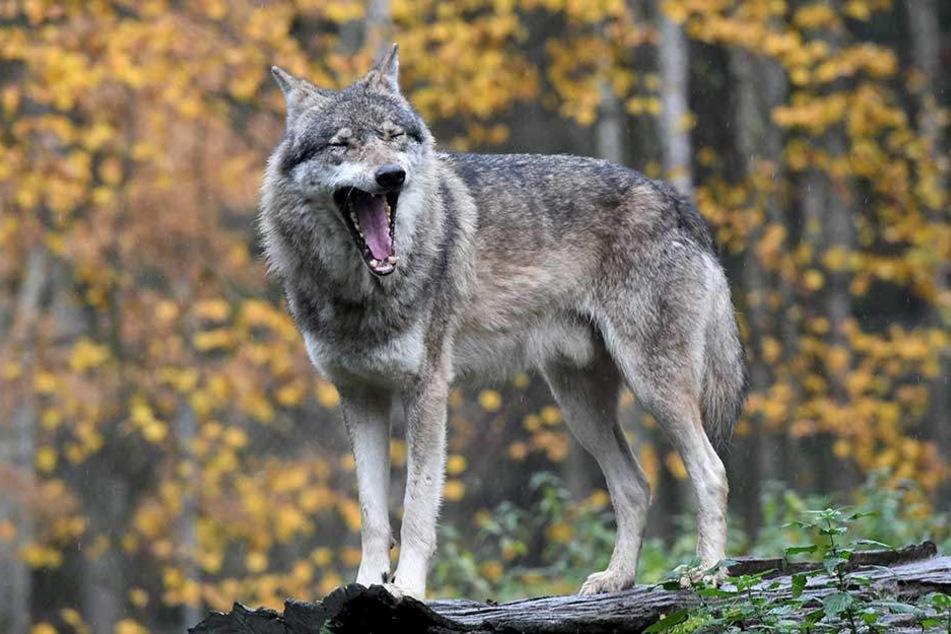 Es wird jetzt anhand von DNA-Spuren geprüft, ob der Biss tatsächlich von einem Wolf stammt.