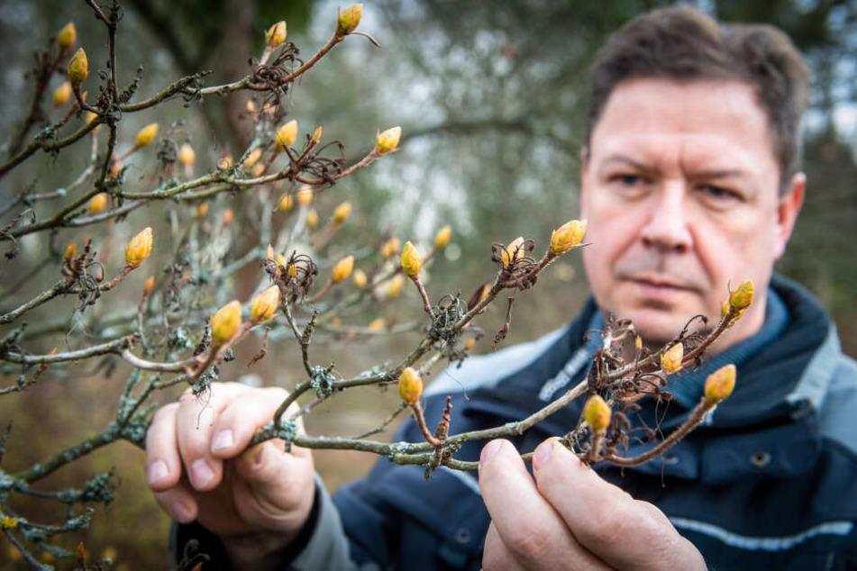 Die Azaleen haben schon ungewöhnlich große Knospen getrieben. Lutz Schäfer (54) betrachtet die Entwicklung im Botanischen Garten mit Sorge.