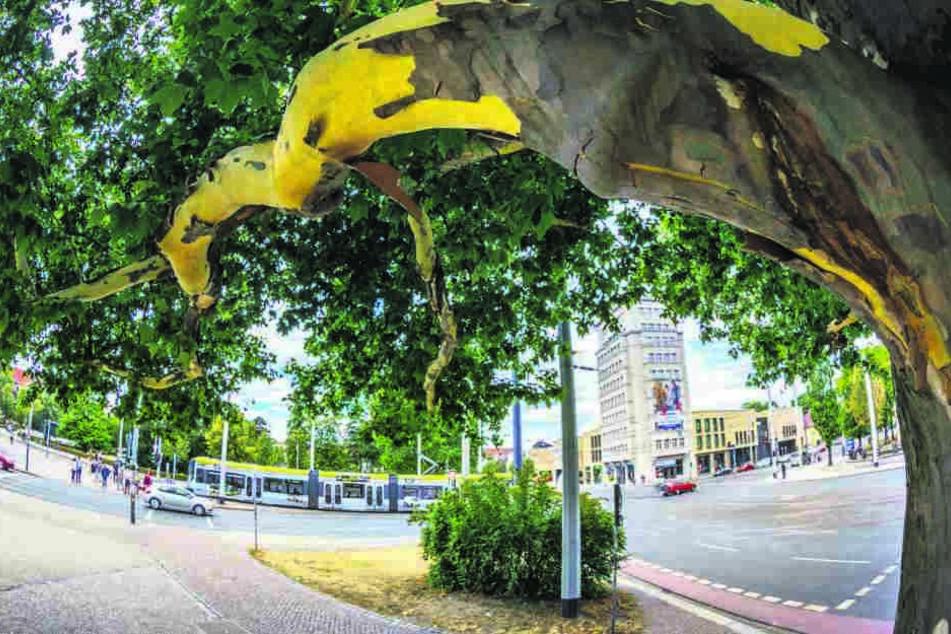 Auch das imposante Platanen-Naturdenkmal am Albertplatz schält sich.