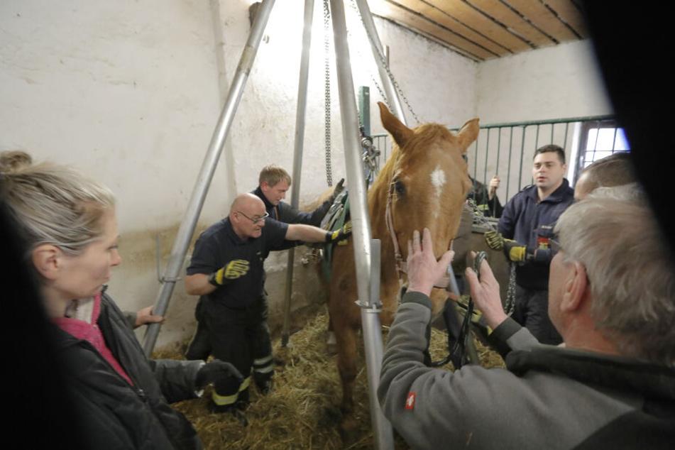 Große Rettungsaktion: In einem Chemnitzer Reitverein ist Dolly, ein 29-jähriges Pferd, in ihrem Stall zum liegen gekommen und konnte nicht alleine wieder aufstehen.