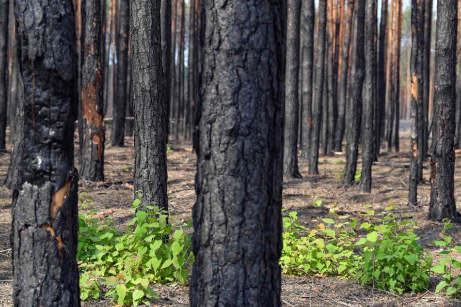 So viel Hektar Kiefernwald wurde durch Dürre und hohe Temperaturen in Südbrandenburg beschädigt