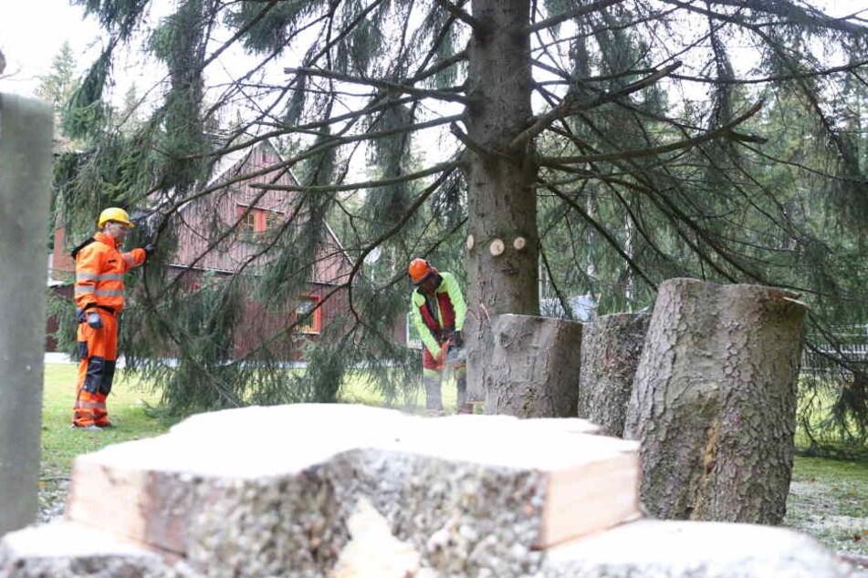 Vorsichtig wurde der Baum am Dienstagvormittag bei Jöhstadt gefällt.