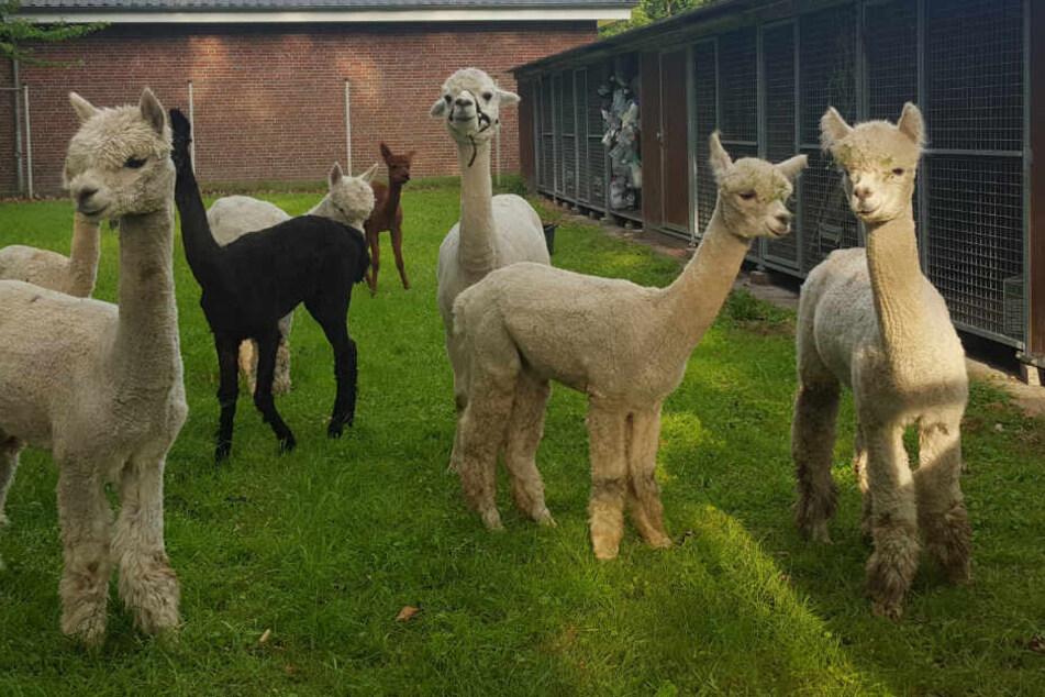 Die Polizei Oldenburg stellte in der Nacht zu Dienstag elf Alpakas aus einem Pferde-Anhänger sicher.