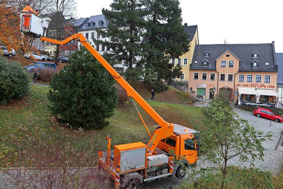 """Dieser """"Weihnachtsbusch"""", eine Kiefer, soll es dieses Jahr - und auch in Zukunft - auf dem Weihnachtsmarkt richten."""