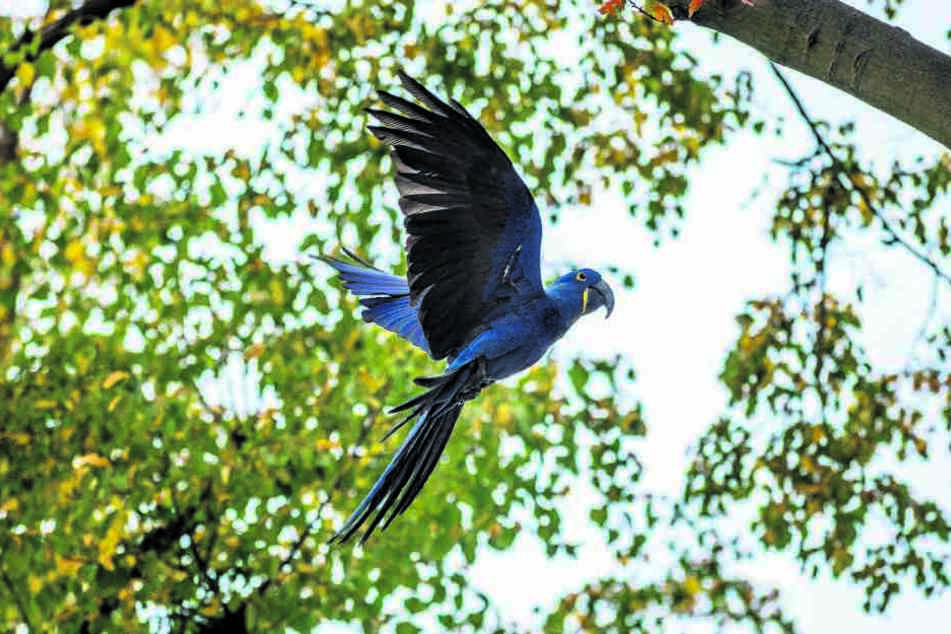 Mitte September suchte das blaue Ara-Weibchen aus dem Zoo Dresden das Weite.