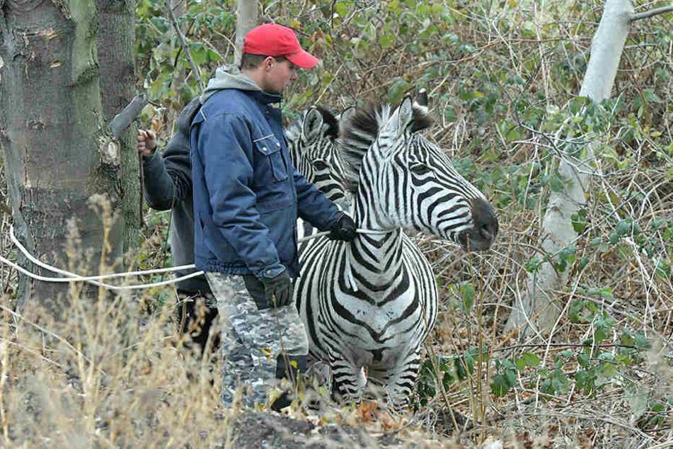 Mehrere Zebras büxten am Montag in Dresden aus und wurden am Elbufer wieder eingefangen.