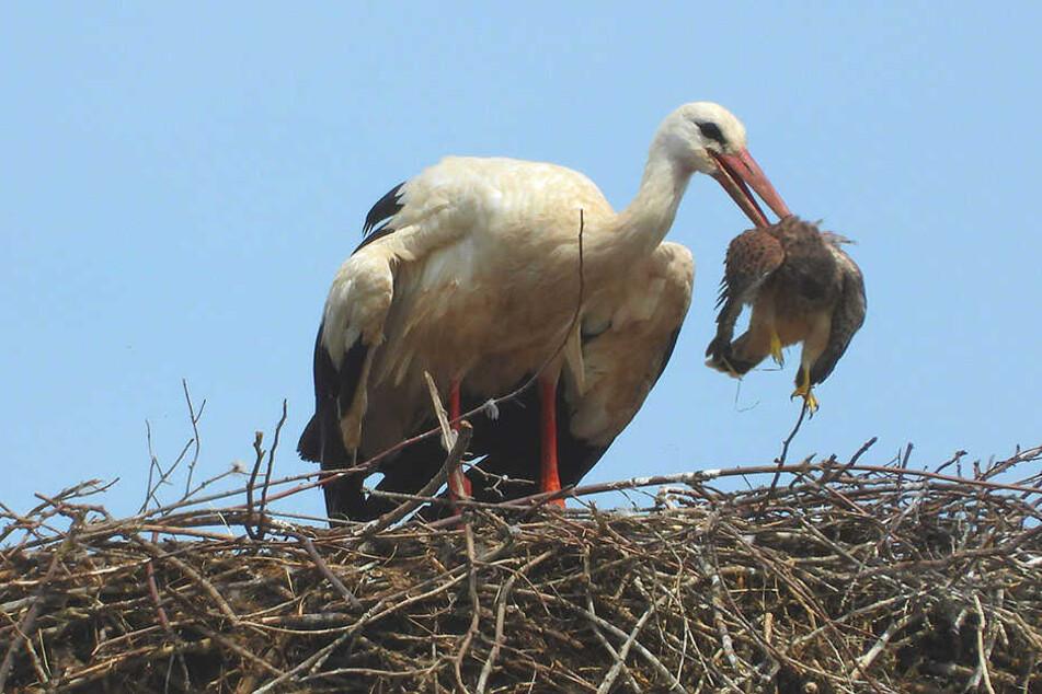 Mit dem kräftigen Schnabel des Adebars hatte der Falke dann wohl doch nicht gerechnet. Er wurde selbst zum Futter.