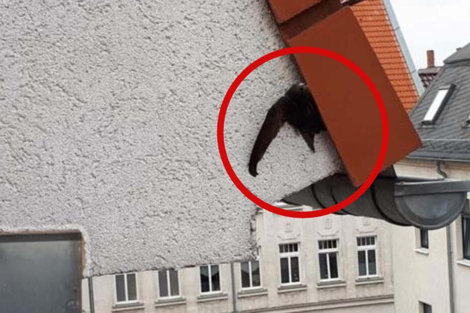Hier klemmt ein Mauersegler in einem Leipziger Dach