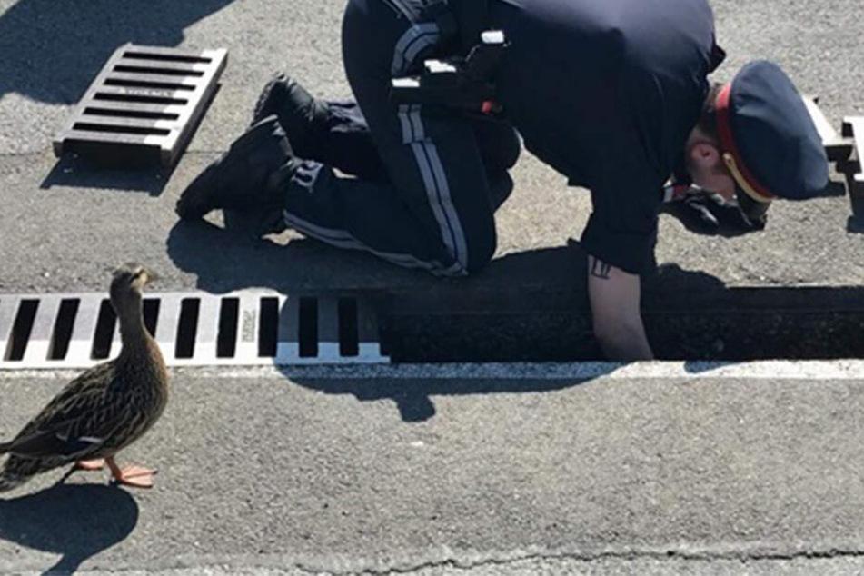 Die Enten-Mama beobachtet einen Polizisten, der ihre Küken aus einem Abflussrohr aus ihrer Notlage rettet.
