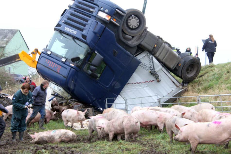 Drama am Deich: Schweinelaster mit 180 Tieren umgestürzt!