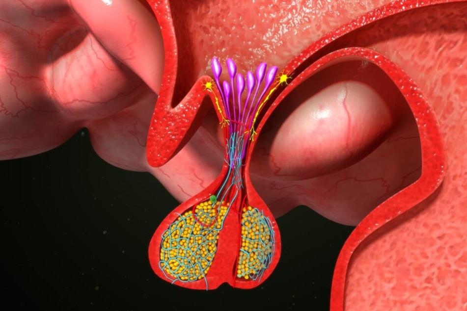 Die Hypophyse (Hirnanhangsdrüse).