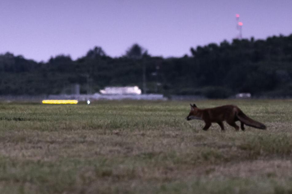 Ein Fuchs geht über eine Wiese auf dem Flugfeld vom Flughafen Hamburg.