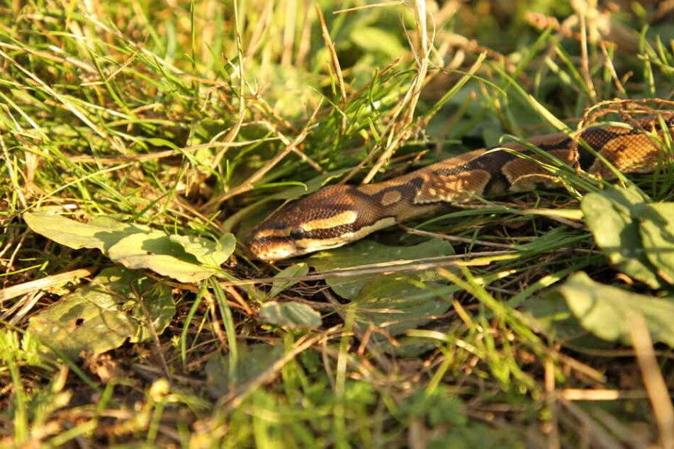 Diese Python wurde in Bad Frankenhausen gefunden.