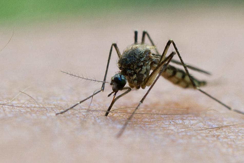 Ein langer Winter macht den Mücken nichts aus.