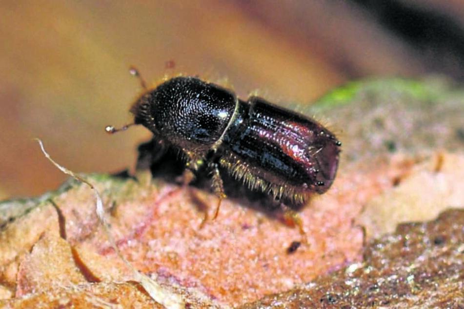 Mit Sex-Fallen gegen die Käferplage. Sachsens Forstleute haben sich spezielle Vorrichtungen ausgedacht, mit denen sie den Horden Herr werden. Dafür setzen sie Duftstoffe der Tiere ein. Hier Fallen im Forst bei Tharandt.So klein und doch so gemein: Borkenk