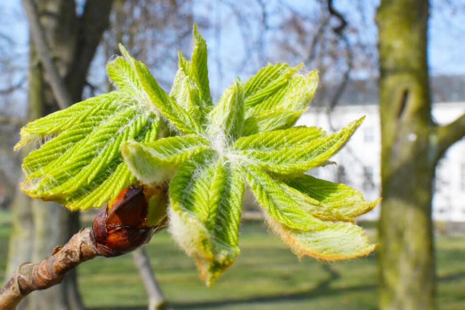In wenigen Wochen ist es soweit und die Knospen der Kastanienbäume platzen auf.