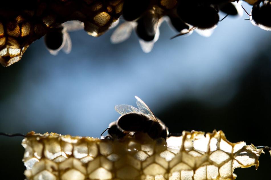 Für Menschen ist die Bienenseuche aber ungefährlich, für Bienen tödlich. (Symbolbild)