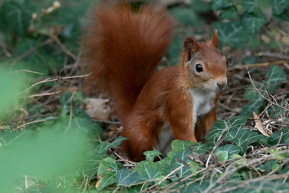 Der kommende Winter könnte für Eichhörnchen echt hart werden.