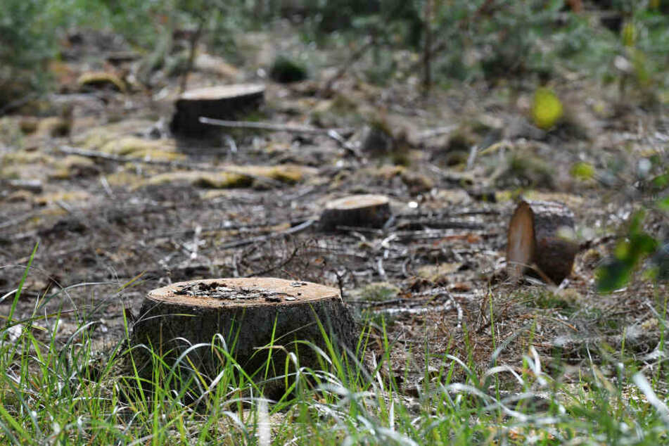 Der Forst musste auch für die Beseitigung von Waldschäden deutlich mehr Geld als geplant ausgeben.