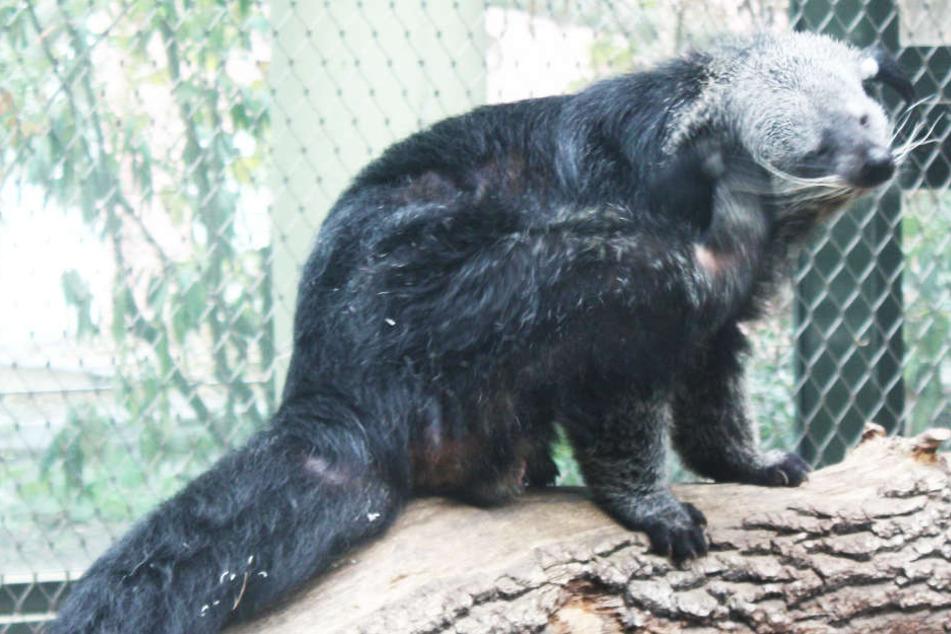 Binturong Theo ist ein neuer Bewohner des Frankfurter Zoos.