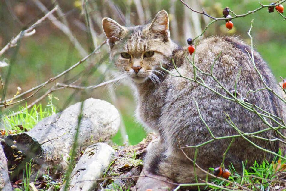 Räuber auf Samtpfoten in Sachsens Wäldern unterwegs