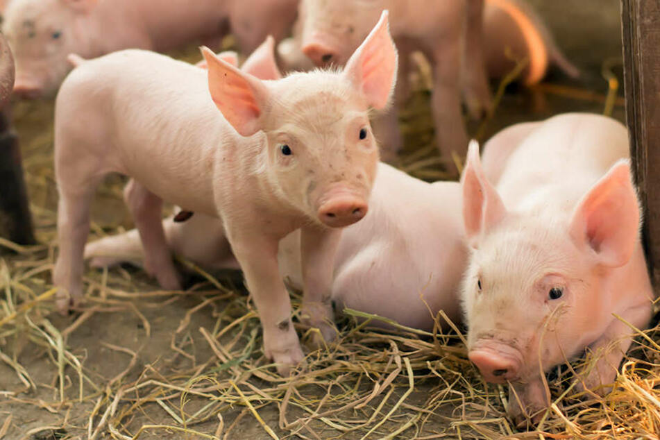 Die Situation wird immer ernster: Die Afrikanische Schweinepest breitet sich aus. Für die heimische Landwirtschaft wäre sie eine Katastrophe. (Symbolbild)