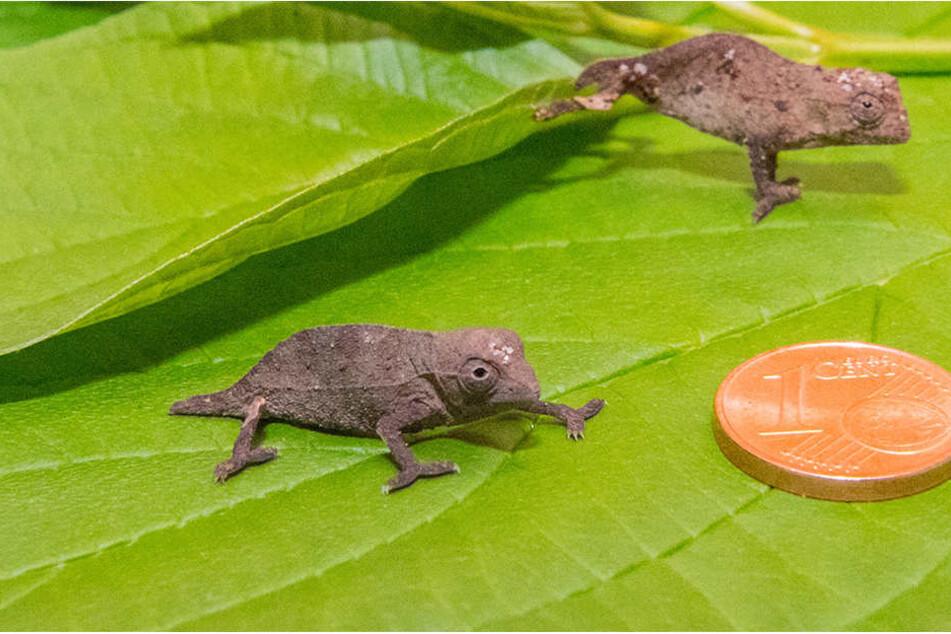 So klein wie ein Centstück: Gleich zwei seltene Tansania-Zwergchamäleons sind im Zoo der Minis geschlüpft.