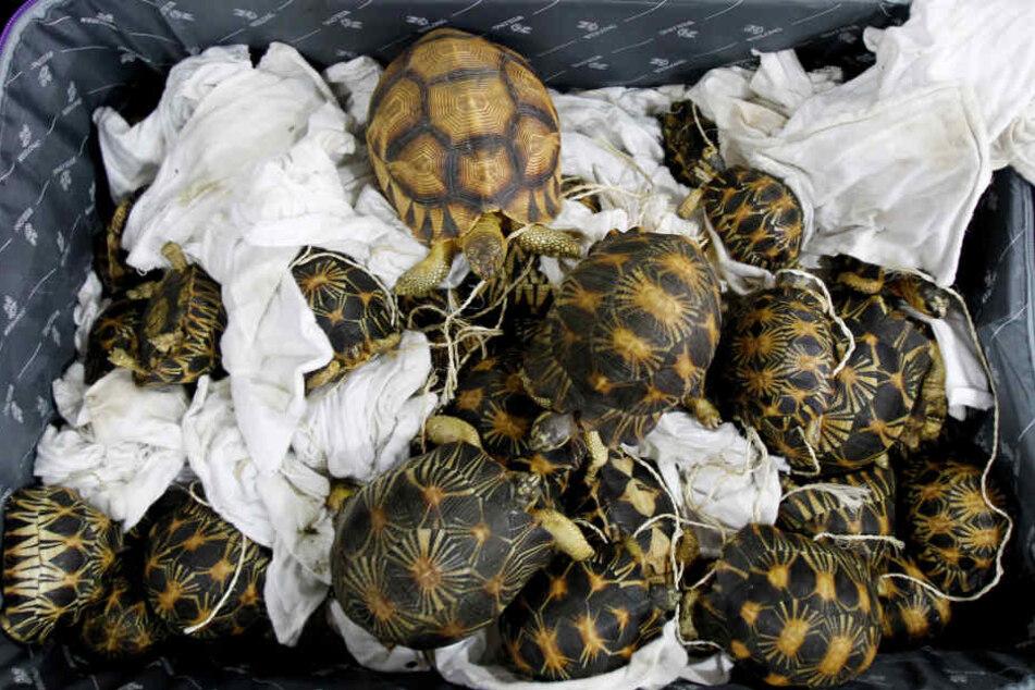 In Malaysia wurden auf einem Flughafen 300 geschmuggelte Schildkröten entdeckt.