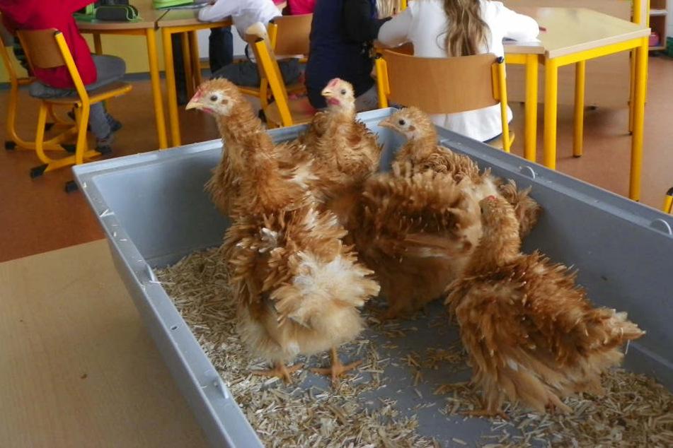 In einer Plastebox warten die Hühner in Weinbergen auf den Start der AG.