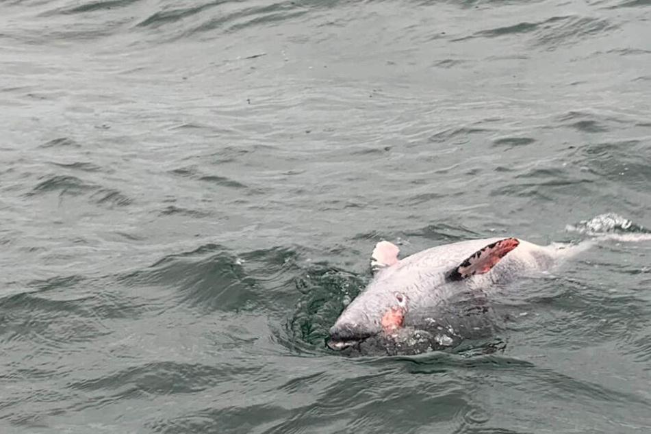 Ein toter Schweinswal treibt vor Neustadt in Holstein im Meer.