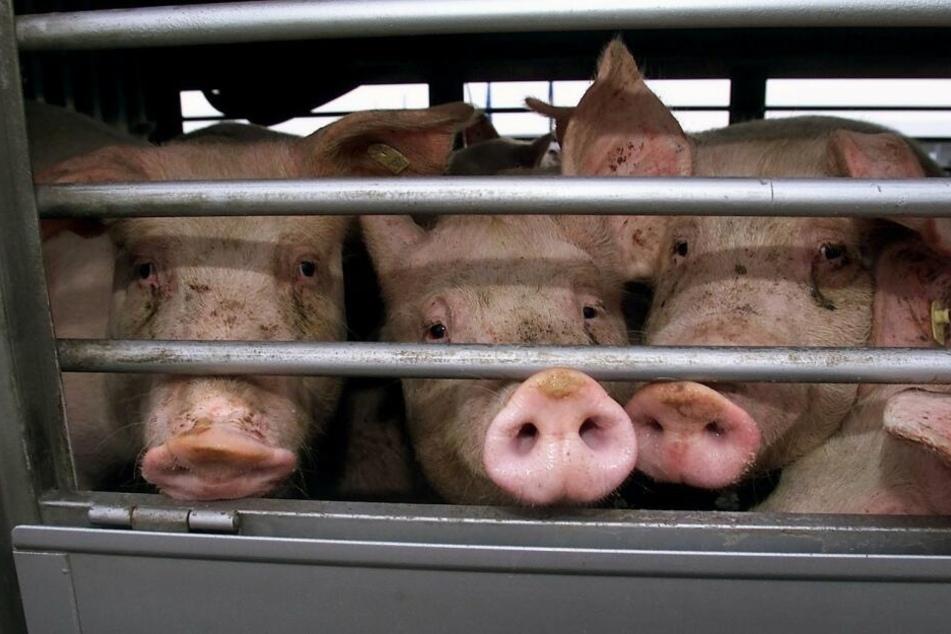 Die Schweine mussten bei hohen Temperaturen ohne Wasser auskommen. (Symbolbild)