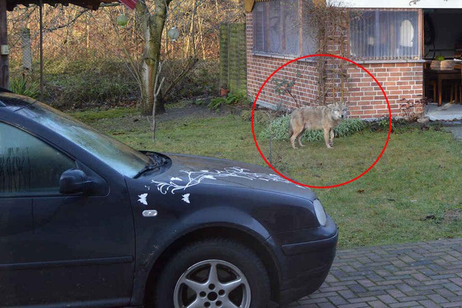 Hier schleicht ein Wolf durch einen sächsischen Garten