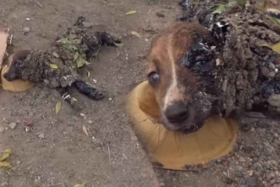Hund wimmert verzweifelt, doch seine Artgenossen tappen in die Falle