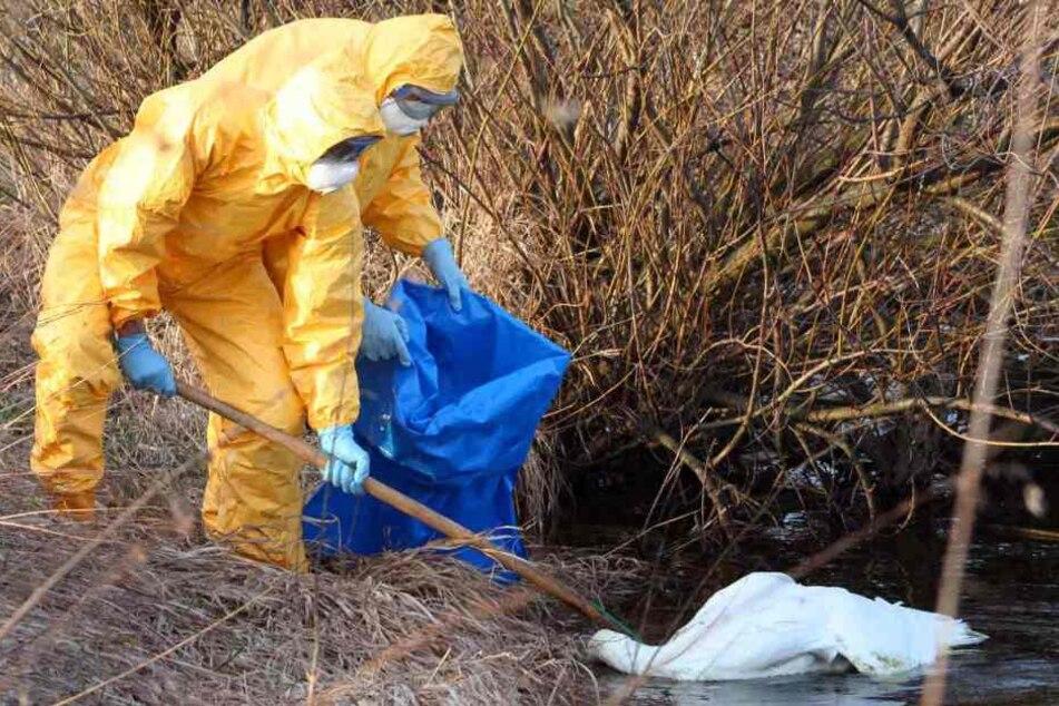 Bei einem toten Schwan wurde das Virus H5N8 nachgewiesen.