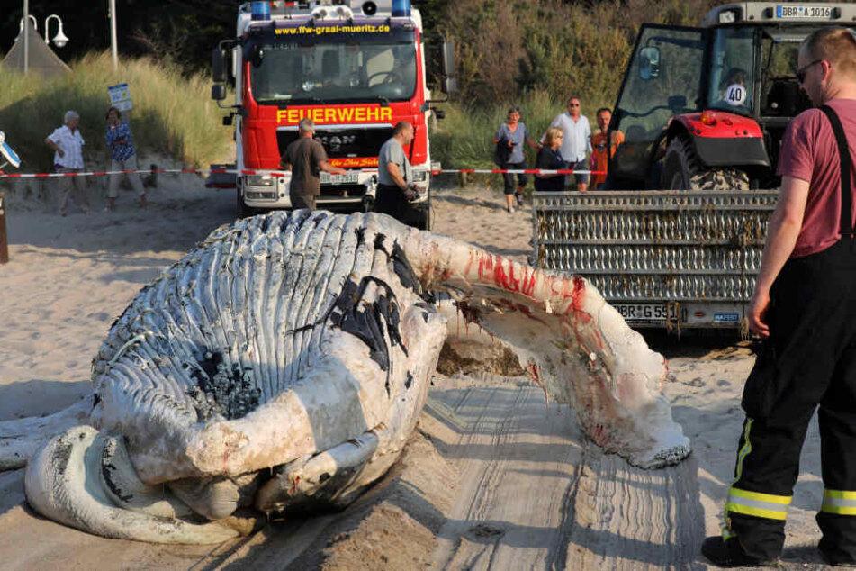 Ein Wal-Kadaver wird an den Ostseestrand geschleppt und dort geborgen.