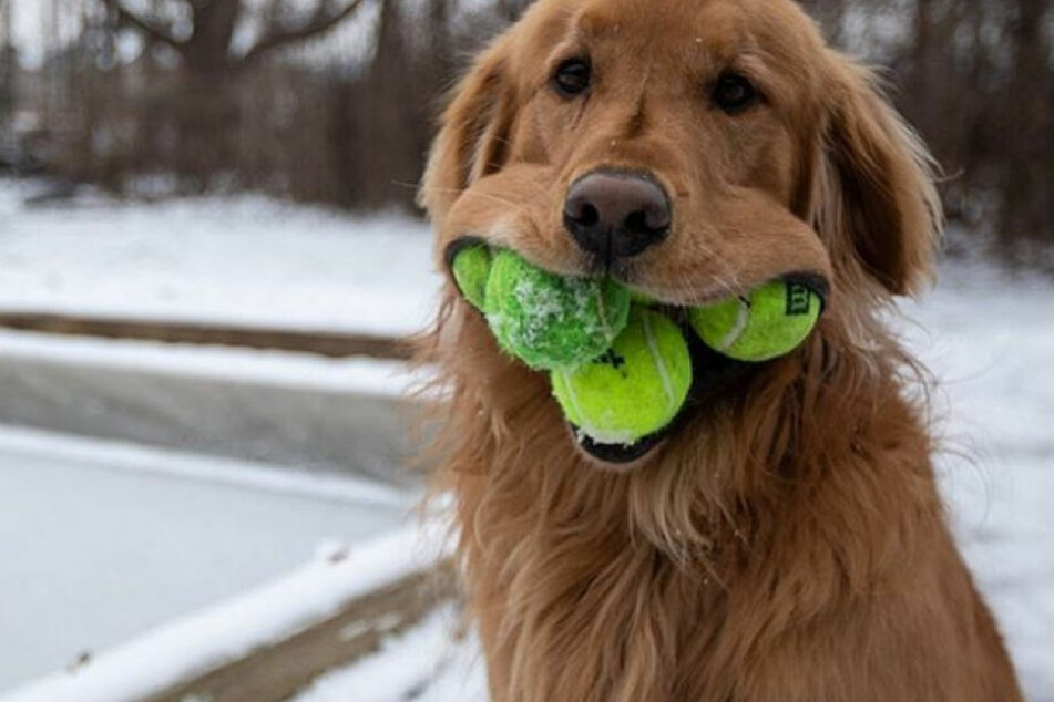 Dieser Hund kriegt den Mund nicht voll genug