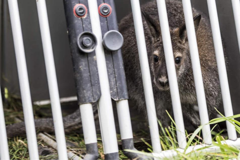 Das Tier konnte unbeschadet eingefangen werden, doch zu wem gehört das Känguru?