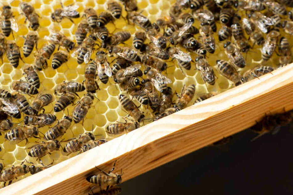 Deutschlands Imker haben durch Parasitenbefall einen spürbaren Teil ihrer Bienenvölker eingebüßt (Symbolbild).