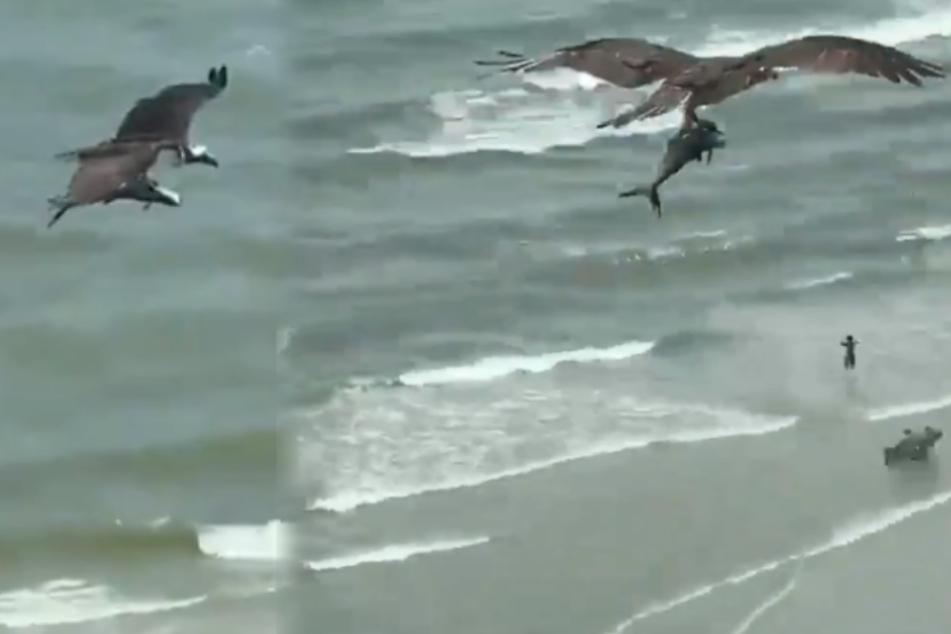 """Riesiger Vogel schnappt sich einen """"Hai"""" mitten am Badestrand"""