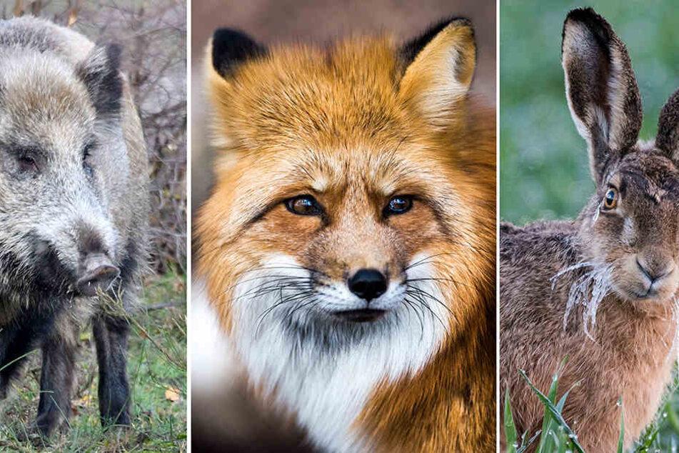 Wildtiere, die sich besonders oft im Frühjahr paaren: (v.li) Wildschweine, Rotfüchse und Feldhasen. Die Hormone bei den Wildtieren laufen derzeit auf Hochtouren.