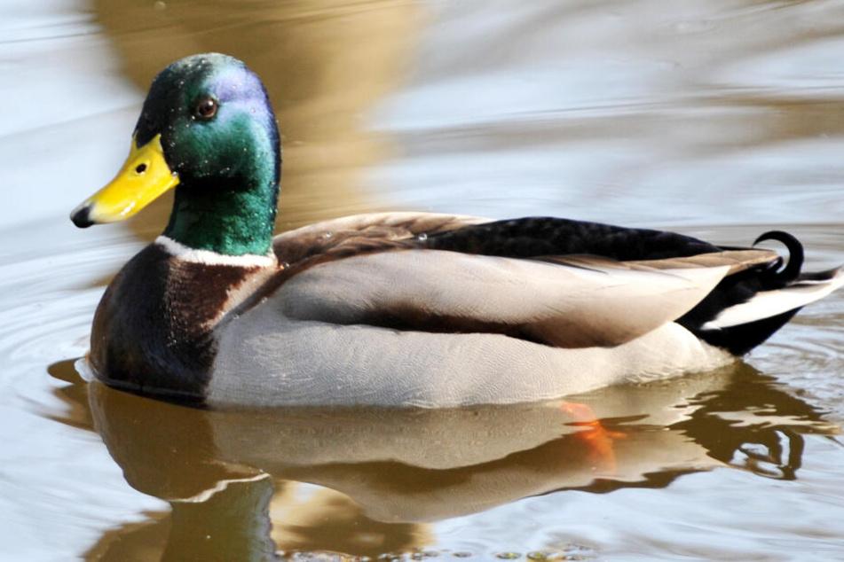 """Enten wurden im Freistaat Bayern im Zuge von """"Animal Hoarding"""" auch aufgefunden. (Symbolbild)"""