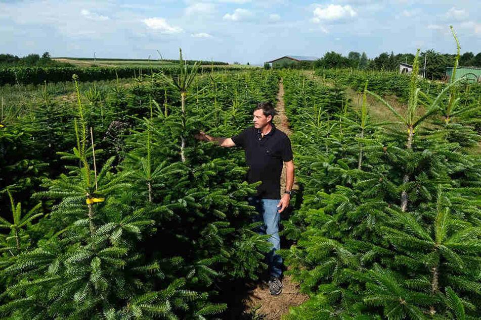 Gibt es dieses Jahr keine Weihnachtsbäume zu Weihnachten?