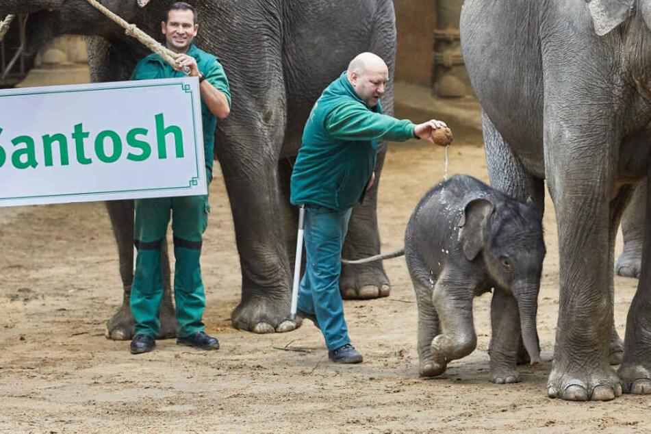 """Tierpfleger Michael Schmidt taufte den kleinen Elefanten mit einer Dose Kokosmilch auf den Namen """"Santosh""""."""