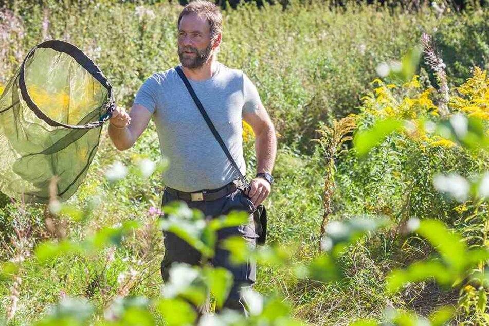 Beklagt einen Artenrückgang: Schmetterlingsexperte Marko Eigner fängt mit dem Netz Schmetterlinge auf einer Chemnitzer Wiese.