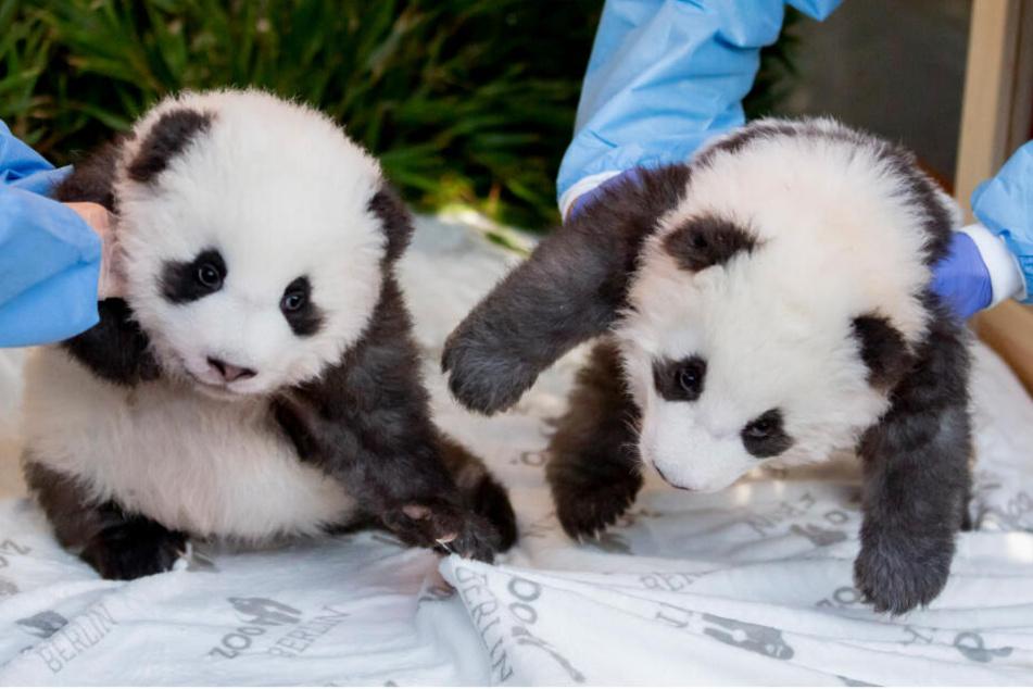 Die Panda-Zwillings-Männchen Meng Yuan (l) und Meng Xiang liegen bei der Bekanntgabe ihrer Namen und ihres Geschlechts im Berliner Zoo in ihrem Bett, wobei Sie von Tierpflegern angehoben werden. (Archivbild)