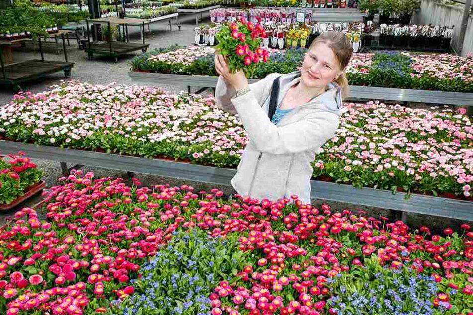 Marlen Müller (33) vom Gartenbau Müller empfiehlt das Tausendschön als bienenfreundliche Pflanze.
